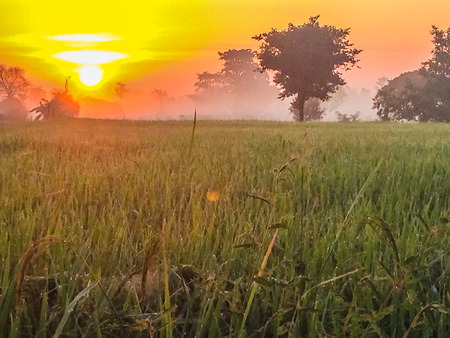Beautiful view of rice paddy field during sunrise, cloudy and blue sky in the morning