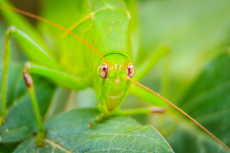Cute Long-horned grasshoppers, or Tettigoniidae, or leafhopper perching on green leaves and green background