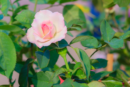 Beautiful white pink rose in the garden that ready for Valentines Day Stock Photo