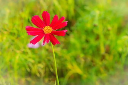 Beautiful Red Purple cosmos flower in the green background Stock Photo