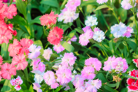 bravo: Beautiful Pink, Indian pink, China pink, or Rainbow pink Flowers inthe garden on the sunny day. Selective focus