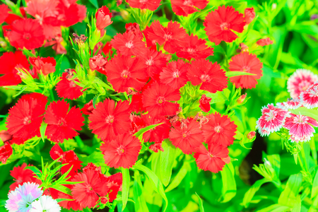 bravo: Beautiful Red Pink Bravo Chinensis dianthus, China pink, Rainbow pink flower (Dianthus chinensis) in the garden on the sunny day. Selective focus Stock Photo