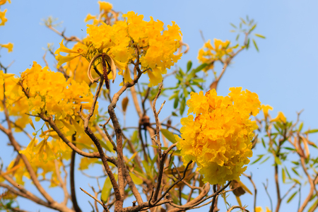 Closeup beautiful yellow flower of silver trumpet tree (tree of gold, Paraguayan silver trumpet tree, Tabebuia aurea), colorful yellow flowers are on long thin branches with clear blue sky background