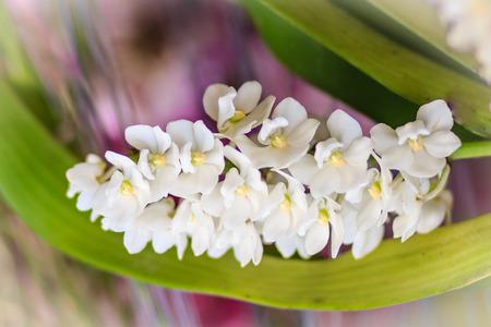 gigantea: Beautiful White Rhynchostylis Gigantea Orchid. White Orchid (Rhynchostylis gigantea flower) in nature background Stock Photo