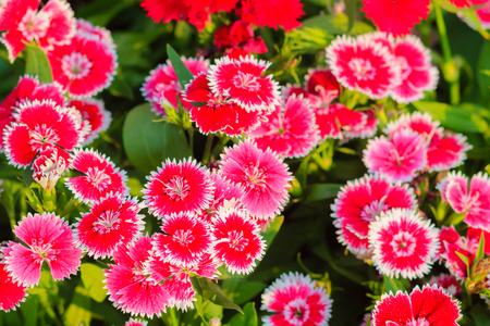 Beau fond de feu de neige en fleurs, poupée chinoise, Chine Fleur rose, fleurs de dianthus roses (Dianthus chinensis) ou Fleur rose arc-en-ciel dans un champ naturel le jour ensoleillé. Banque d'images - 83221805