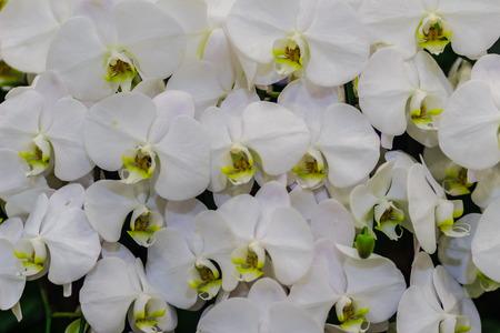 Schöne Weiße Niederlassungsorchideenblumen Von Orchidaceae ...