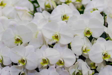 Beautiful White branch orchid flowers of Orchidaceae, Phalaenopsis, known as the Moth Orchid, abbreviated Phal in the horticultural trade. Phalaenopsis cultivar, possibly Aphrodite