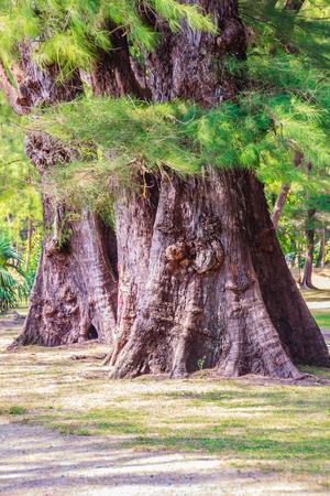 Evergreen Casuarina equisetifolia (Common ironwood) forest tree at Naiyang beach bearby Phuket airport, Thailand.