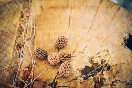 Dry fallen seeds of Casuarina equisetifolia (Common ironwood) fruit on cut it tree background. Deforestation and reforestation concept. Stock Photo