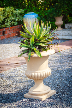 Dry Agave Angustifolia (Caribbean Agave) on exotic pot decorated in the garden
