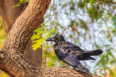 Close up black crow in the public park. Corvus corone, common black crow in the garden.