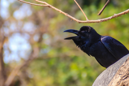 Close up black crow in the public park. Corvus corone, common black crow in the garden.