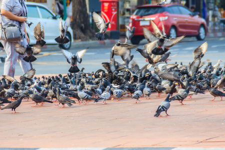 Crowd of pigeon on the walking street in Bangkok, Thailand. Blurred group of pigeons fight over for food, many struggle pigeons near temple in Thailand. Selective focus Stock Photo