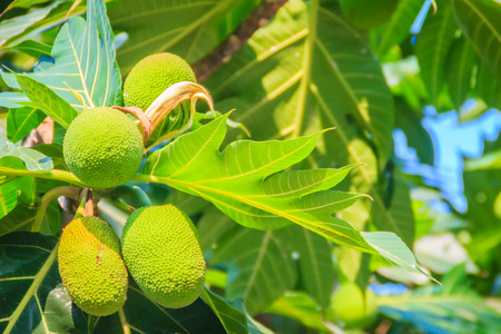 Close up view of young green breadfruit (Artocarpus altilis) fruit on tree with green leaves. Bread fruit tree originated in the South Pacific and was eventually spread to the rest of Oceania.