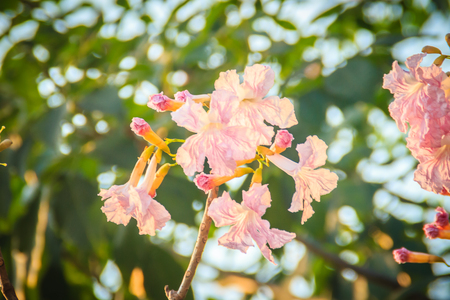 Close up pink trumpet (Tabebuia rosea) flowers on tree with branches and leaves. Tabebuia rosea is a Pink Flower tree that common named Pink trumpet tree, Rosy trumpet tree. Stock Photo