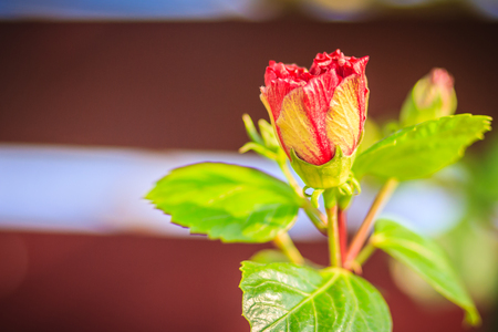 Closed up of young Hibiscus Rosa-Sinensis Ritzy also known as Chinese hibiscus, China rose, Hawaiian hibiscus and shoeblackplant. Beautiful single Chinese hibiscus red, budding flower on blurred background.