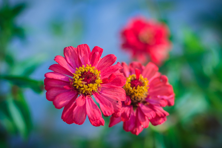 Beautiful Red pink Zinnia flower top view in summer garden (Zinnia violacea Cav.) on sunny day.