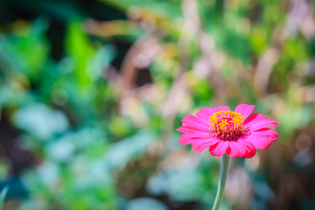 Beautiful single pink Zinnia flower top view in summer garden (Zinnia violacea Cav.) on sunny day. Stock Photo