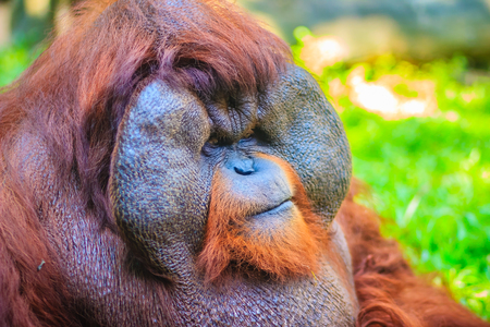 arise: Close up to face of dominant male, Bornean orangutan (Pongo pygmaeus) with the signature developed cheek pads that arise in response to a testosterone surge.