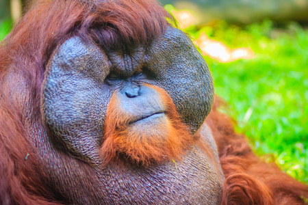 Close up to face of dominant male, Bornean orangutan (Pongo pygmaeus) with the signature developed cheek pads that arise in response to a testosterone surge.