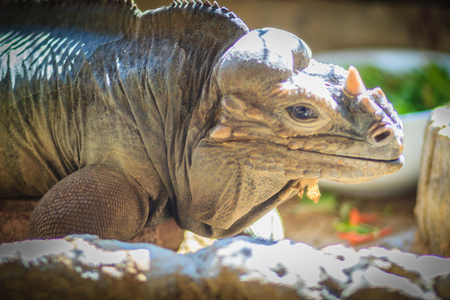 Close up head of Rhinoceros iguana (Cyclura cornuta), also known as the Goliath dragon. Stock Photo