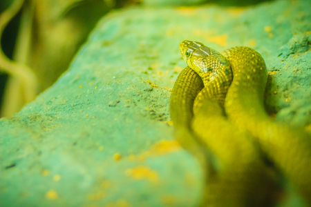 Yellow-spotted keelback snake (Xenochrophis sanctijohanis). Xenochrophis is a genus of colubrid snakes endemic to Asia. They are commonly referred to as painted keelbacks. Stock Photo