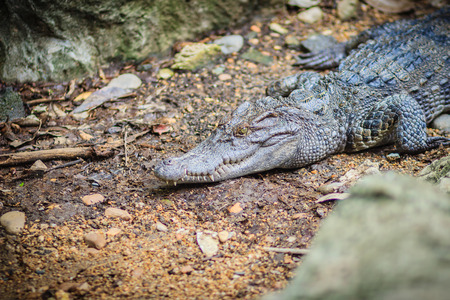 cold blooded: Siamese crocodile (crocodylus siamensis) conceal low on ground. Stock Photo