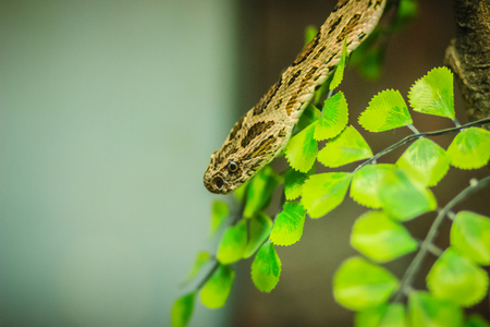 Daboia siamensis snake, a venomous viper species that is endemic to parts of Southeast Asia, southern China and Taiwan. Common named Eastern Russells viper, Siamese Russells viper. Stock Photo