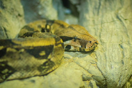 The boa constrictor (Boa constrictor), also called the red-tailed boa or common boa.