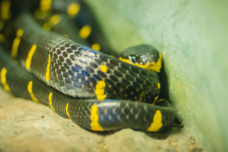 Scary Boiga dendrophila, commonly called the mangrove snake or gold-ringed cat snake, is a species of rear-fanged colubrid from southeast Asia. Stock Photo