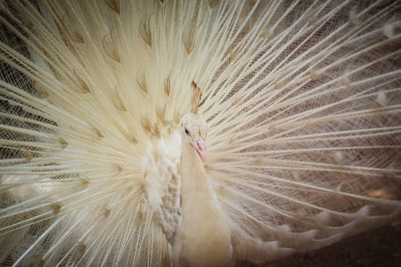 Beautiful white peafowl with feathers out. White male peacock with spread feathers. Albino peacock with fully opened tail.