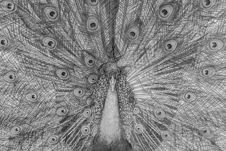 fanned: Beautiful black and white abstract background of peacock showing beautiful plumage and spreading tail-feathers in breading season.