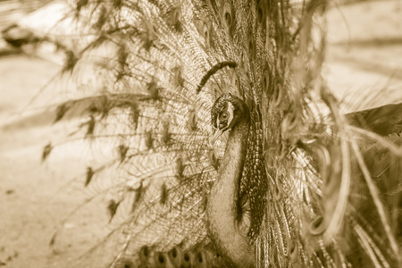 frontal portrait: Beautiful black and white abstract background of peacock showing beautiful plumage and spreading tail-feathers in breading season.