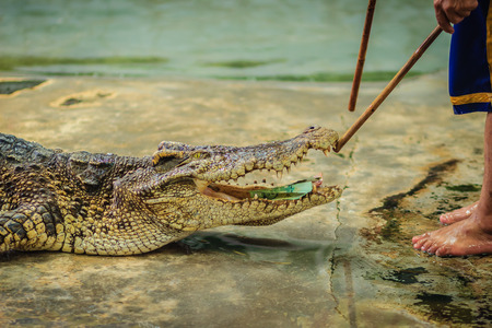 Crocodiles mouth wide open with money inside. Money inside crocodiles mouth and how to put it back. Stock Photo