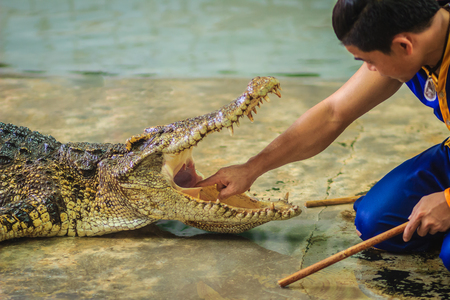 Showman using his hand to delve to the throat of the opened mouths crocodile. The stuntman puts his hand into the crocodiles mouth.