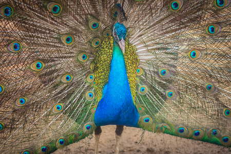 frontal portrait: Beautiful peacock showing beautiful plumage and spreading tail-feathers in breading season.