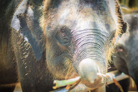 Young elephant is chained and it eye with tears look so pitiful.