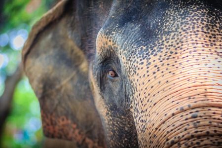 fed up: Close up head with sad eye of albino elephant chained.