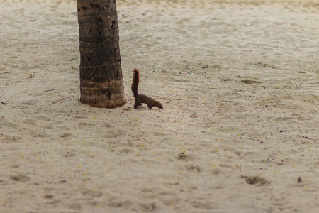 chasing tail: Cute squirrel is climbing down from coconut tree to the beach and finding for food.