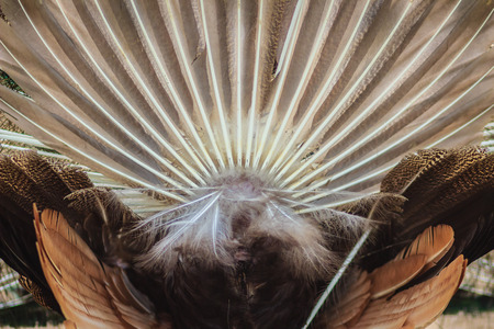 Rear view of male peacock displaying tail feathers. Back view of male peacock during show spread tail feathers in nature Stock Photo