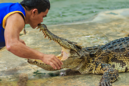 perilous: Nakhon Pathom, Thailand - May 18, 2017: Risky crocodile shows at Samphran Crocodile Farm, one of the most impressive public crocodile shows in the world.