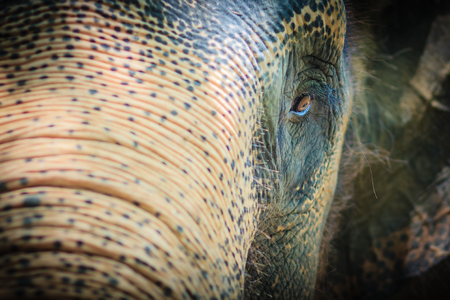 Close up head with sad eye of albino elephant chained.