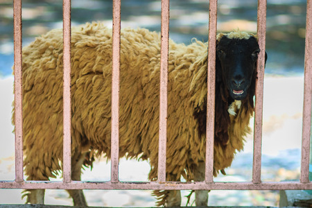 Black head and brown hair sheep during escape the cage fence.