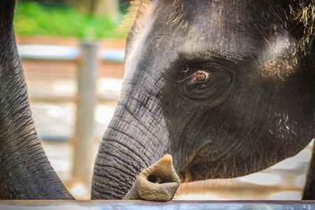 Old and skinny elephant is chained and look very pitiful.