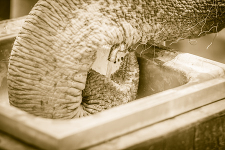 Albino elephant drinking water from tap faucet by use it trunk. An elephant use its trunk to drink water from tap.