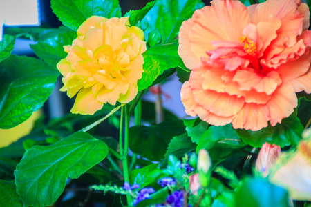 Yellow and orange Hibiscus Rosa-Sinensis Ritzy also known as Chinese hibiscus, China rose, Hawaiian hibiscus and shoeblackplant. Beautiful single Chinese hibiscus yellow and orange flower Stock Photo
