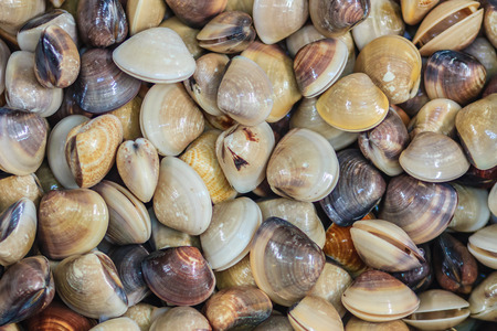 Fresh enamel venus shell (Meretrix lyrata) for sale at the seafood market. Meretrix is a genus of edible saltwater clams, marine bivalve molluscs in the family Veneridae, the Venus clams.