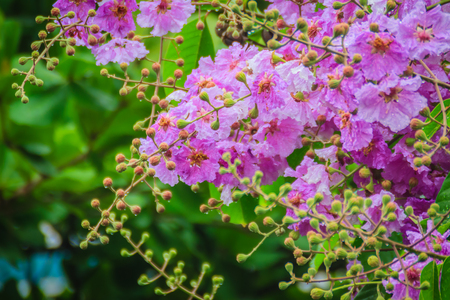Beautiful purple flower of Lagerstroemia speciosa (giant crape-myrtle, Queen's crape-myrtle, banaba plant for Philippines, or Pride of India), species of Lagerstroemia native to tropical southern Asia