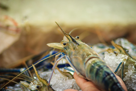 Extra large size of giant malaysian prawn (Macrobrachium rosenbergii) also known as the giant river prawn or giant freshwater prawn, is a commercially important species of palaemonid freshwater prawn