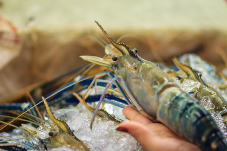 commercially: Extra large size of giant malaysian prawn (Macrobrachium rosenbergii) also known as the giant river prawn or giant freshwater prawn, is a commercially important species of palaemonid freshwater prawn